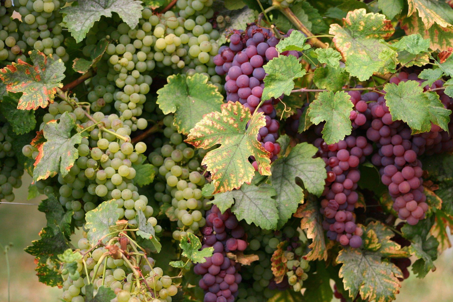 grapes-wine-private tour-Colmar-Alsace-France