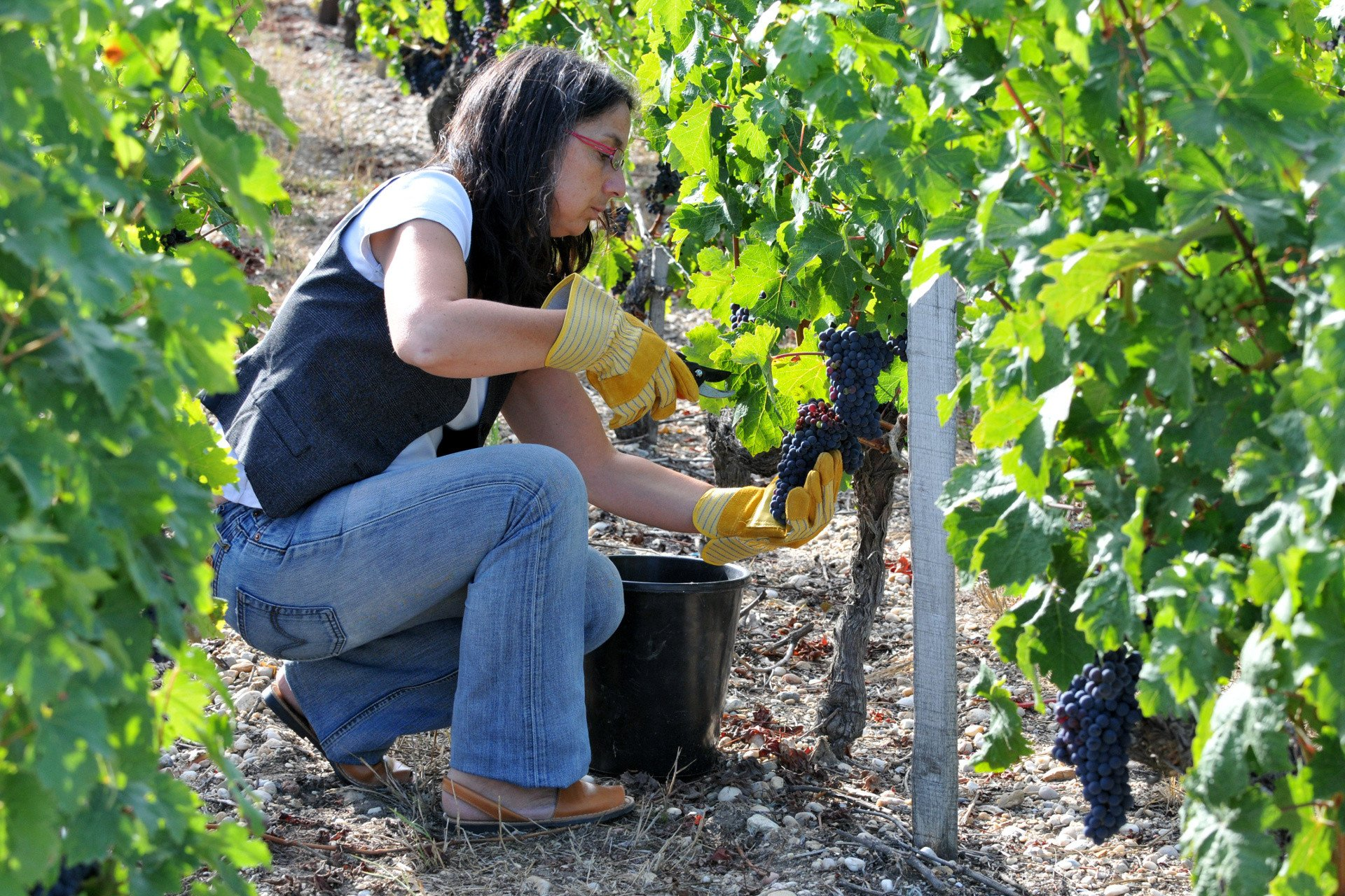 Woman harvesting clusters of grapes