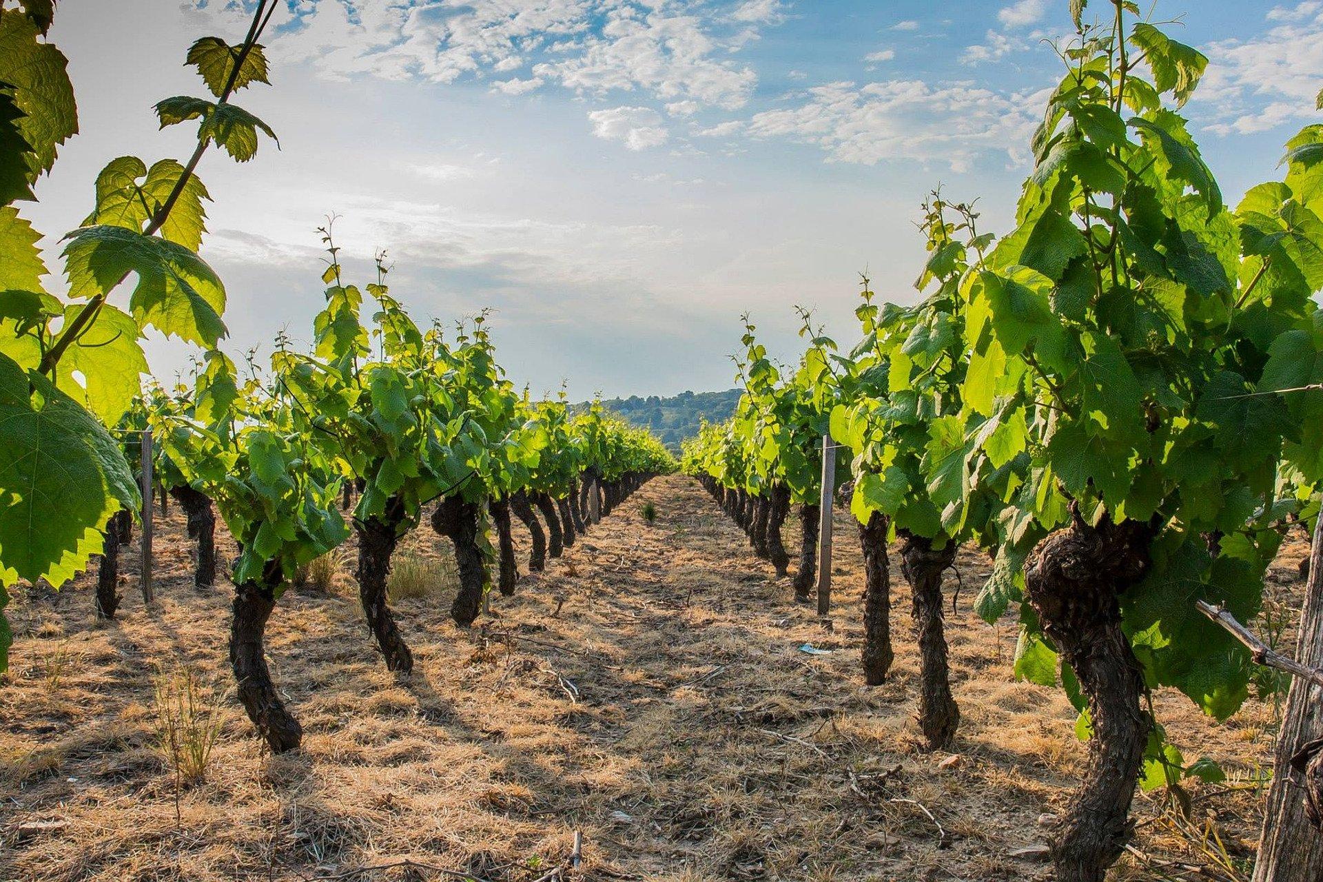 Sunny wineyards