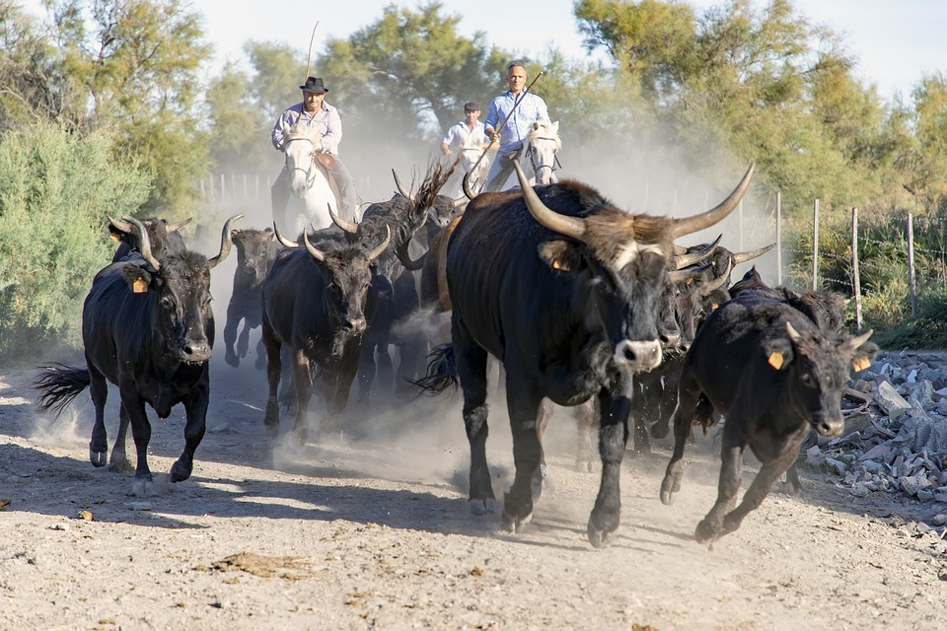 France-gard-uzes-vintage car-2cv-private tour-camargue-herd bull