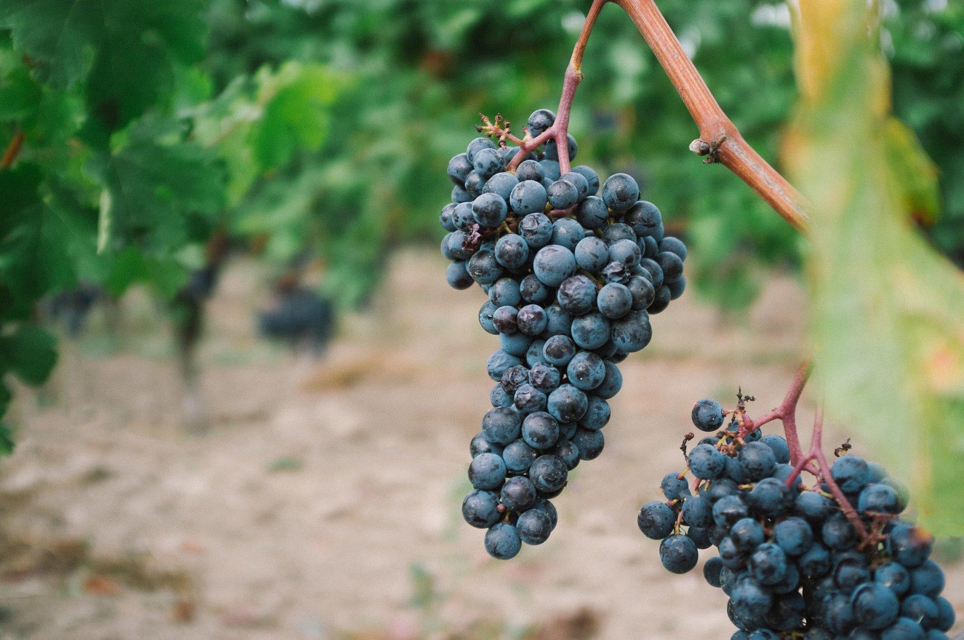 Une grappe de raisin dans une vigne